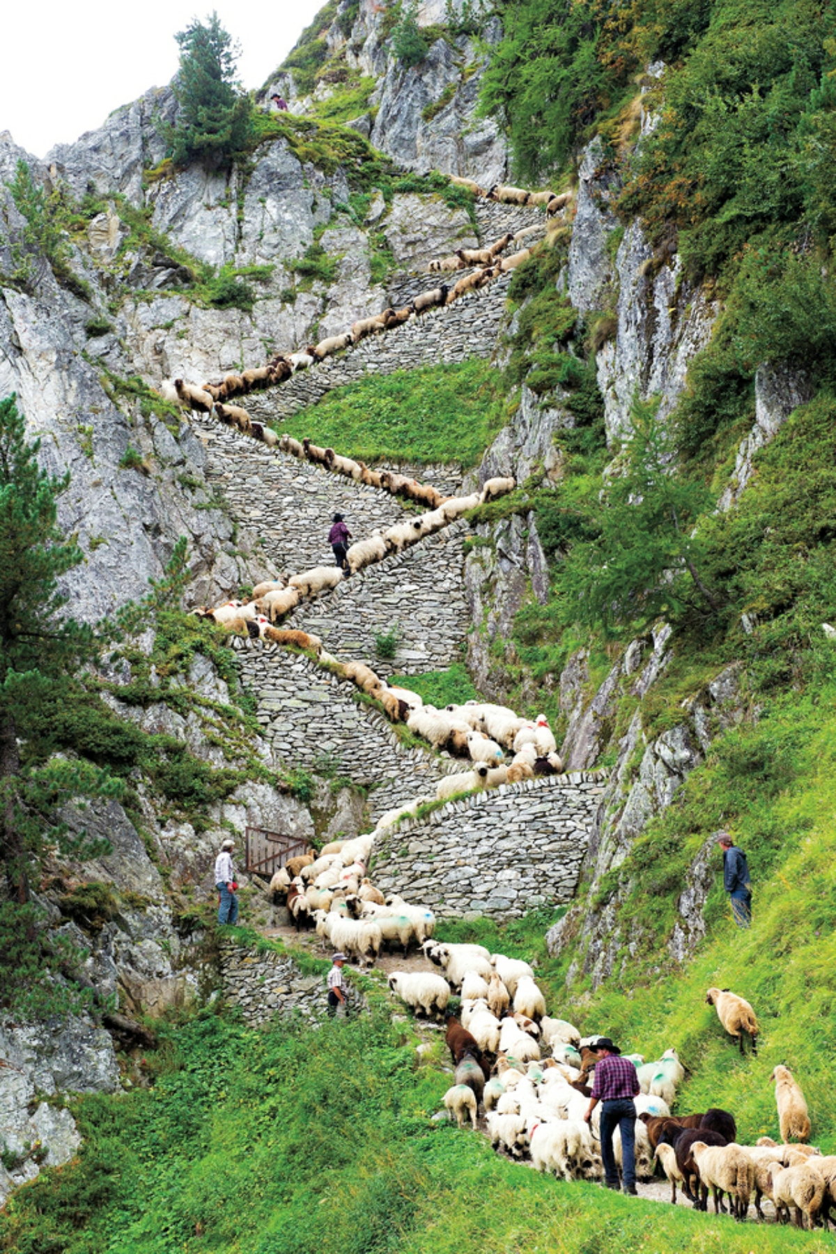 "Switzerland Shepherd's Weekend In this picture taken Aug. 25, 2012, a flock of alpine sheep walk on a cliff path on the way from summer grazing high above the Aletschgletscher glacier down to Belalp in the canton of Valais, during the ""Schaeferwochenende"" (Shepherd's Weekend) in Belalp near Blatten, Switzerland. (AP Photo/Keystone/Jean-Christophe Bott)"